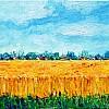korenveld in Belsele